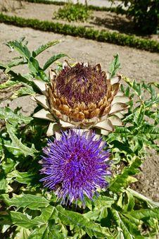 Free Cynara, Flower, Plant, Artichoke Thistle Royalty Free Stock Photos - 118872518