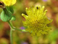 Free Flower, Yellow, Sow Thistles, Flora Stock Image - 118872871