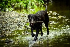 Free Black Dog Stick On Mouth Royalty Free Stock Images - 118920689