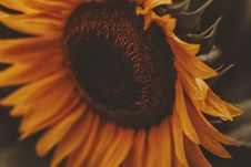 Free Close-up Photo Of Sunflower In Bloom Stock Images - 118920764