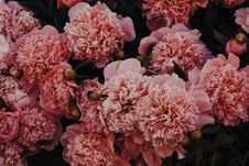 Free Pink Carnations Royalty Free Stock Photos - 118920788