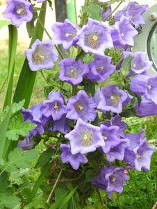 Free Flower, Plant, Bellflower Family, Flowering Plant Stock Image - 118939921