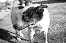 Free Black, Black And White, Dog, Dog Breed Stock Photography - 118940082