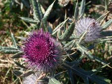 Free Plant, Silybum, Thistle, Artichoke Thistle Stock Images - 118940794