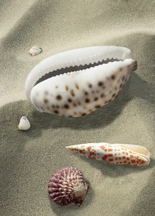 Free Seashell, Cockle, Conch, Stock Photos - 118940883