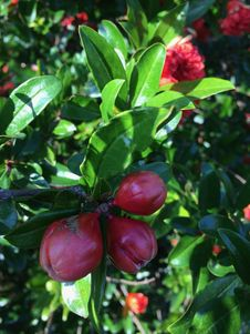 Free Plant, Fruit Tree, Fruit, Evergreen Royalty Free Stock Images - 118940999