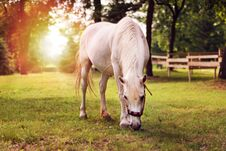 Beautiful White Horse In The Summer Field Royalty Free Stock Photography