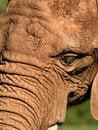 Free Elephant Head Royalty Free Stock Photos - 1194408