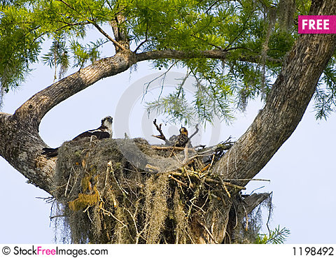 Osprey nest Stock Photo