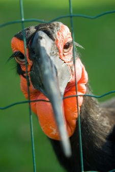 Free African Ground Hornbill Stock Image - 1190631