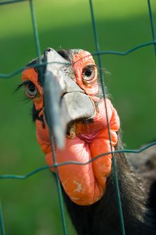 Free African Ground Hornbill Royalty Free Stock Photography - 1190637