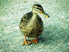Free Duck Stock Images - 1192634