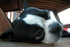 Boston Terrier Nap Royalty Free Stock Images