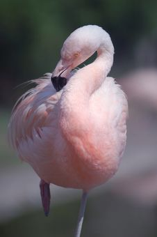 Free Chilean Flamingo Grooming Stock Photography - 1197312
