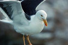 Free Jonathon C Gull Royalty Free Stock Photos - 1198278