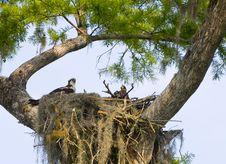 Free Osprey Nest Stock Photography - 1198492