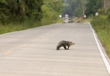 Large Alligator On The Road Stock Images