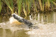 Free Alligator Attack Royalty Free Stock Image - 1198506