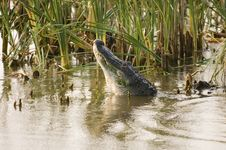Free Alligator Mating Call Royalty Free Stock Photos - 1198508