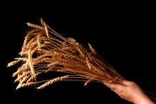 Free Wheat 1 Royalty Free Stock Photography - 1199417