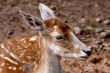 Free Fallow Deer Stock Images - 1199544