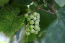 Free Cluster Of A Grapes Stock Images - 1199554