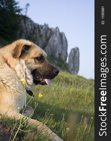 Mounatin dog