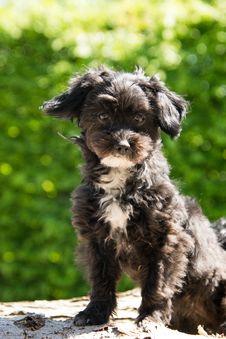 Free Dog Like Mammal, Dog Breed, Dog, Morkie Stock Image - 119034131