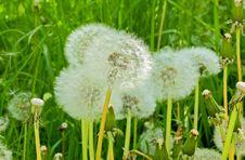 Free Flower, Dandelion, Flora, Grass Stock Image - 119034431