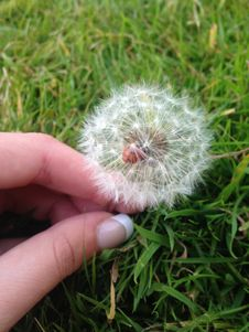 Free Dandelion, Grass, Plant, Flower Stock Images - 119034524