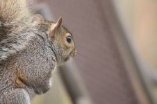 Free Squirrel, Mammal, Fauna, Fox Squirrel Stock Photography - 119034652