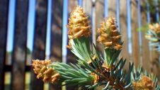 Free Pine Family, Conifer, Spruce, Tree Stock Image - 119034721