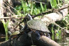 Free Turtle, Emydidae, Reptile, Terrestrial Animal Royalty Free Stock Image - 119034766