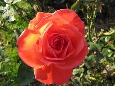 Free Rose, Rose Family, Flower, Floribunda Stock Images - 119034864