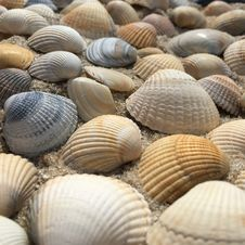 Free Clam, Cockle, Seashell, Clams Oysters Mussels And Scallops Royalty Free Stock Image - 119034936