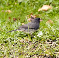 Free Junco Bird On Grass Royalty Free Stock Photos - 11937388