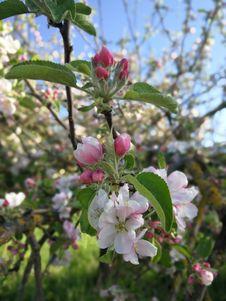 Free Plant, Blossom, Spring, Prunus Royalty Free Stock Image - 119317016