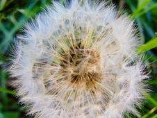 Free Flower, Dandelion, Flora, Plant Royalty Free Stock Image - 119317046