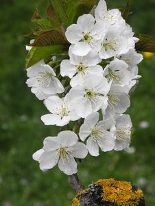 Free Flower, Blossom, Spring, Cherry Blossom Royalty Free Stock Photos - 119317058