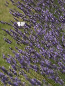 Free English Lavender, Lavender, Flower, Plant Royalty Free Stock Photos - 119317108
