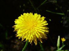 Free Flower, Yellow, Dandelion, Sow Thistles Royalty Free Stock Photo - 119317115