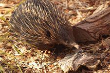 Free Echidna, Monotreme, Mammal, Fauna Stock Image - 119317201