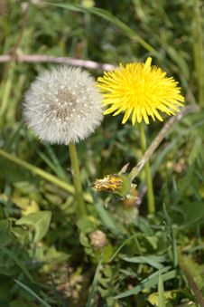 Free Flower, Dandelion, Sow Thistles, Plant Stock Images - 119317274