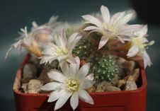 Free Plant, Flowering Plant, Flower, Cactus Stock Photography - 119317322