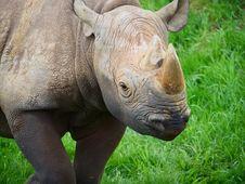 Free Rhinoceros, Terrestrial Animal, Fauna, Mammal Royalty Free Stock Images - 119317369