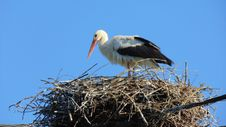 Free Bird, White Stork, Stork, Ciconiiformes Royalty Free Stock Photography - 119411387