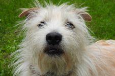 Free Dog, Dog Breed, Dog Like Mammal, Terrier Stock Images - 119411454