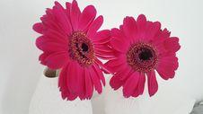 Free Flower, Flowering Plant, Pink, Gerbera Royalty Free Stock Photo - 119411705