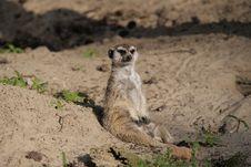 Free Meerkat, Fauna, Mammal, Wildlife Royalty Free Stock Photography - 119412047