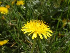 Free Flower, Dandelion, Sow Thistles, Flatweed Royalty Free Stock Photography - 119412117